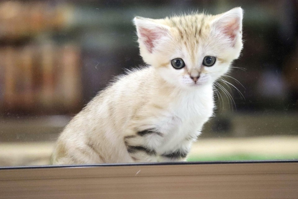 About The Pixie Bob Cat Breeds