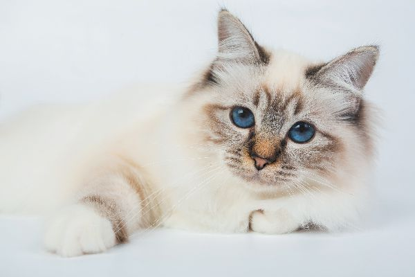 Birman - The Details Just about every Owner Of This Cat Breed Should Know