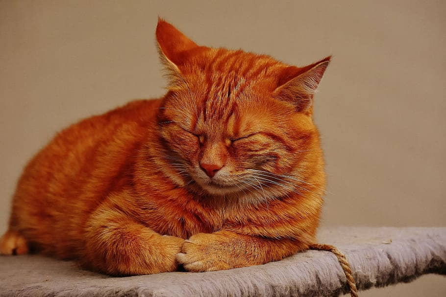 Cat Flatulence (Gas) Causes and Treatments