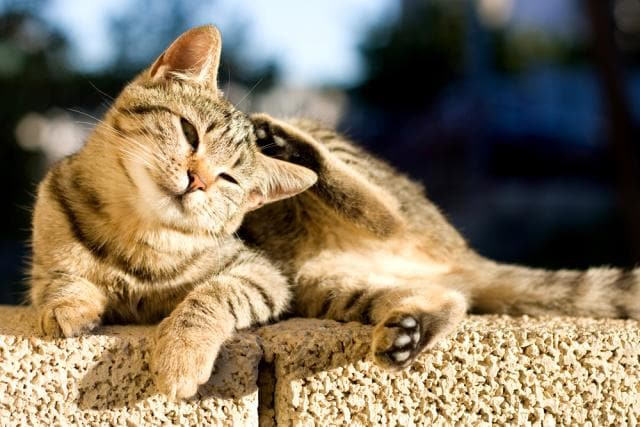 Cats and Compulsive Scratching, Licking, and Chewing