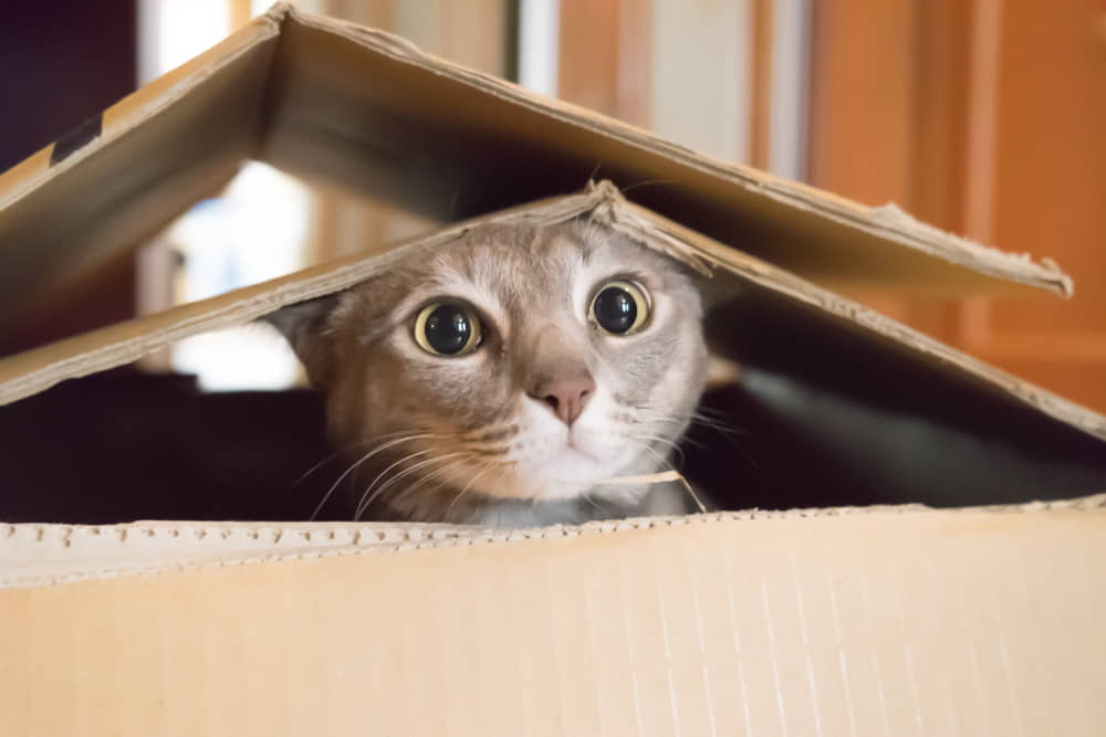 Cats and Moving to a New Home: Making the Transition