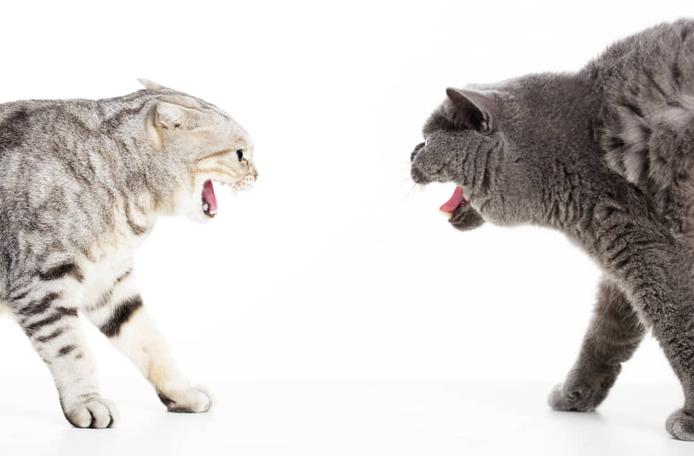 How to Manage Fighting and Aggression Between Cats