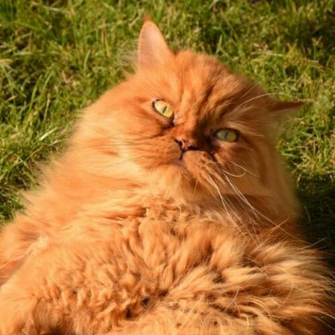 Persian Cat Care: How is it Various