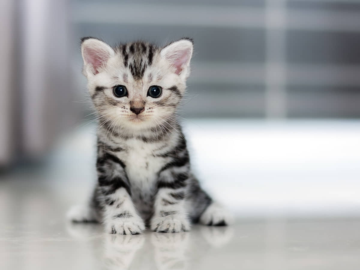 What Do You Need to Know Before Adopting a Cat?