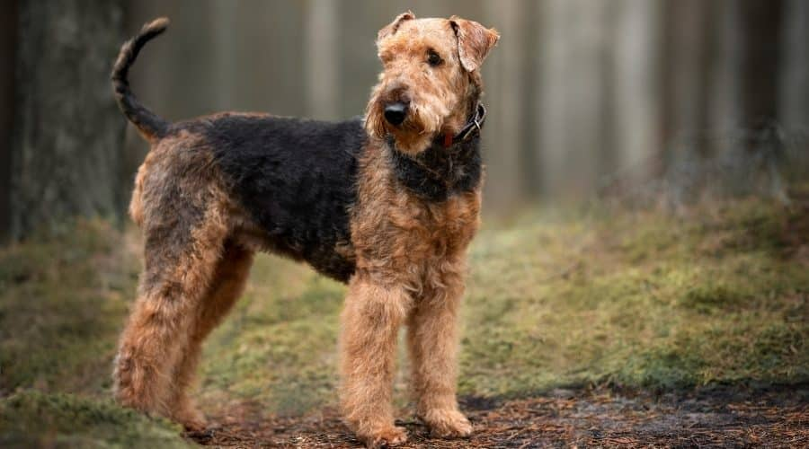 Airedale-Terrier-Dog-Breeds