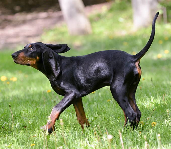 black-and-tan-coonhound-dog-breeds-1
