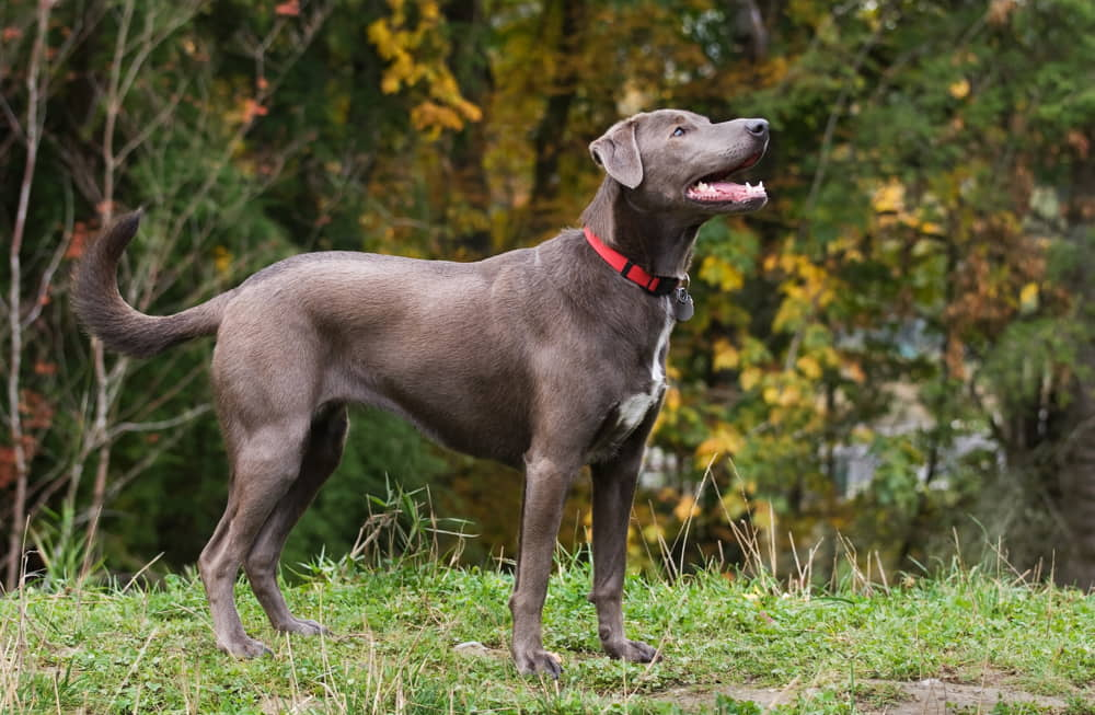 Blue Lacy - Dog Breeds