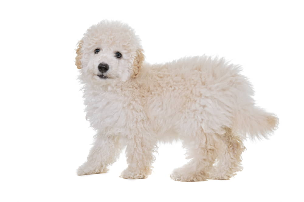 Papipoo - Dog Breeds