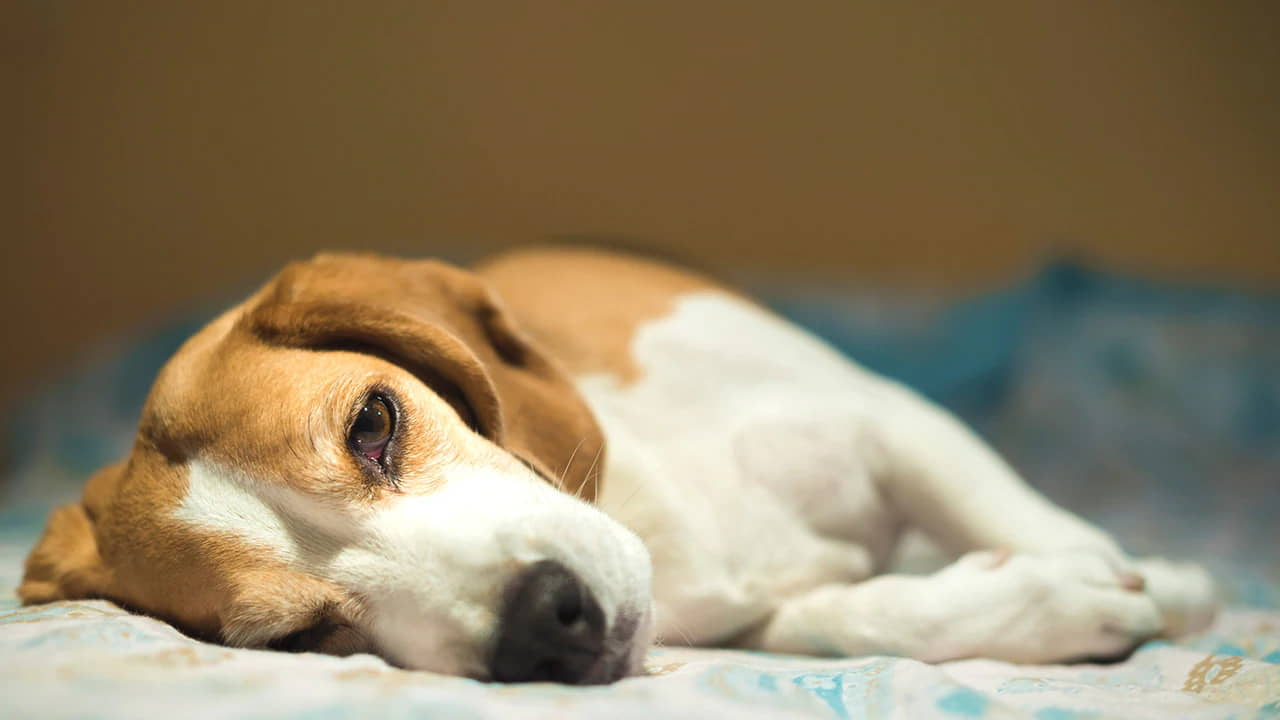 Dog Weakness and Lethargy: Causes and Treatments