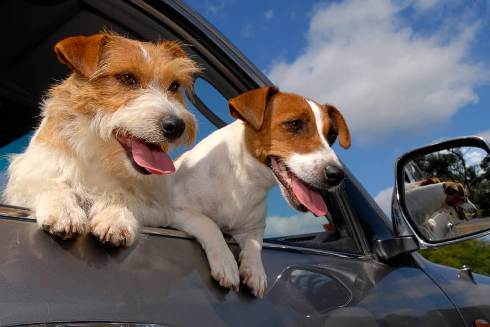 Dogs and Motion Sickness