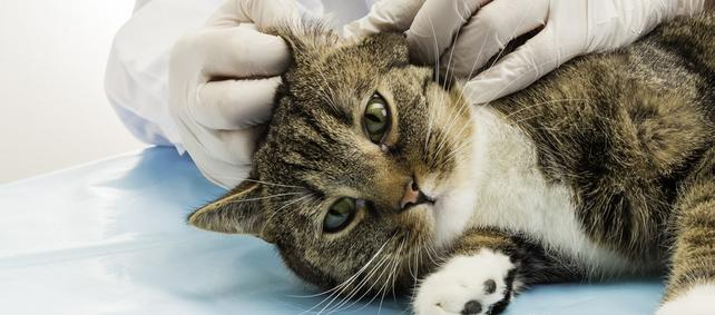 Ear Mites In Canine And Cats: Leading 5 Sure Fire Cures That Operate