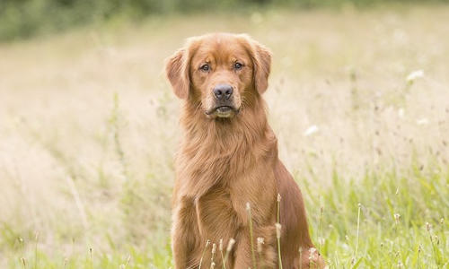 Hemangiosarcoma - A (Usually) Silent and Lethal Canine Cancer
