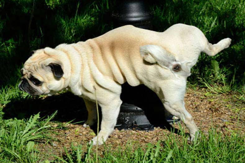 Painful Urination in Dogs