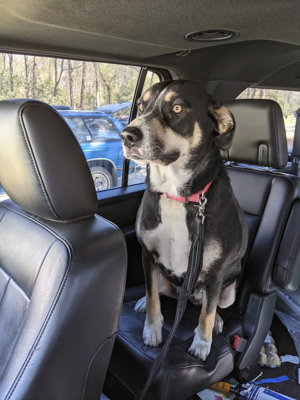 Preserve Your Valuable Pet Protected With a Canine Seat Belt
