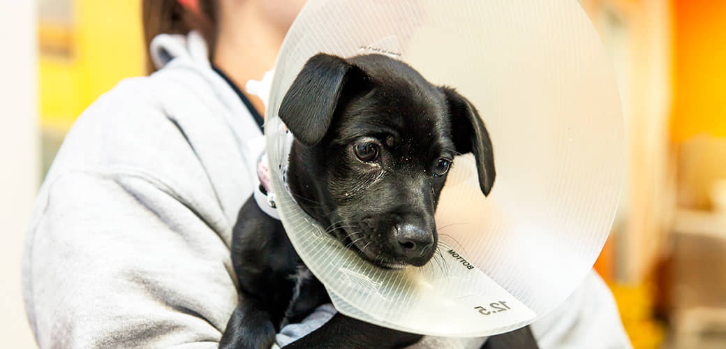 Spaying or Neutering Your Dog FAQ