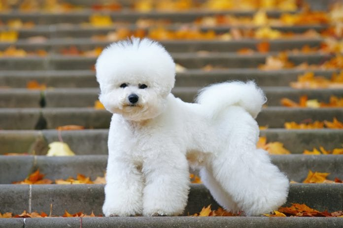 The Bichon Frise: The French Lap Canine