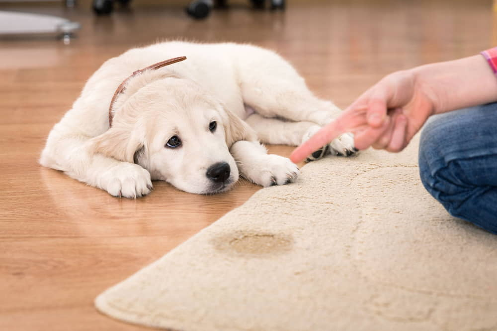 Urinary Incontinence in Dogs