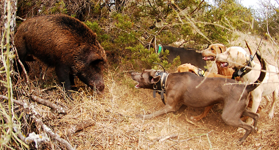Very best Canines For Boar Hunting