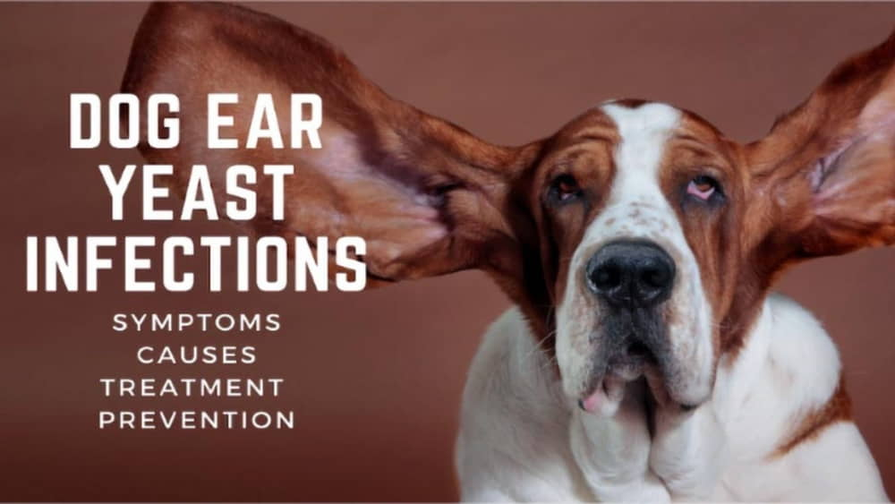 Yeast Infection in Dogs' Ears: Causes, Treatment, and Prevention