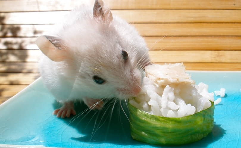 Can Hamsters Eat Rice?