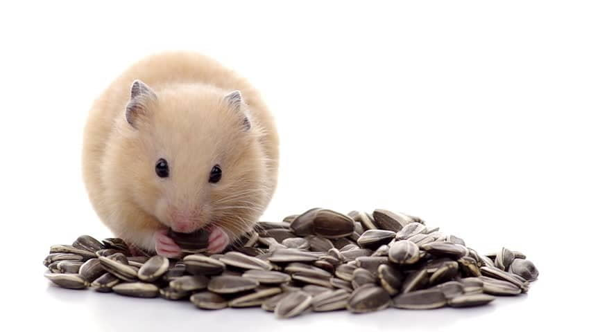 Can Hamsters Eat Sunflower Seeds?