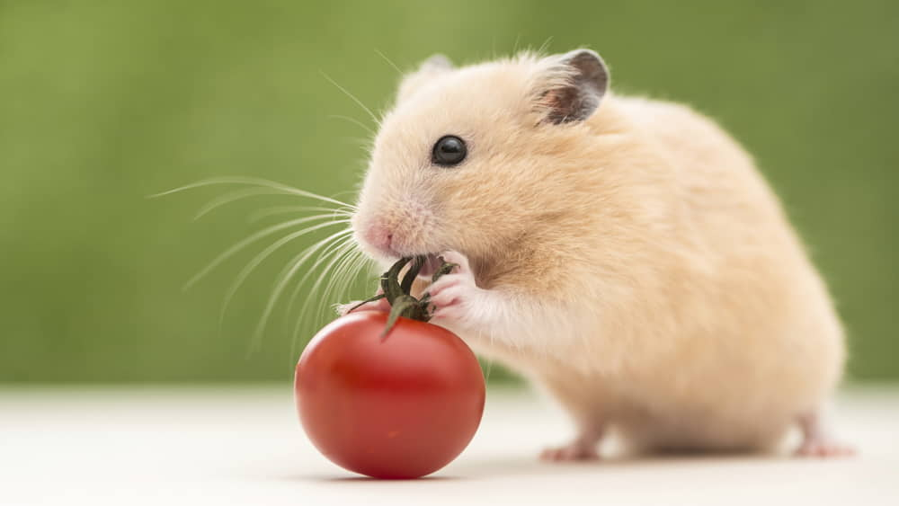 Can Hamsters Eat Tomatoes ?
