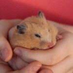 Do Hamsters Get Periods?