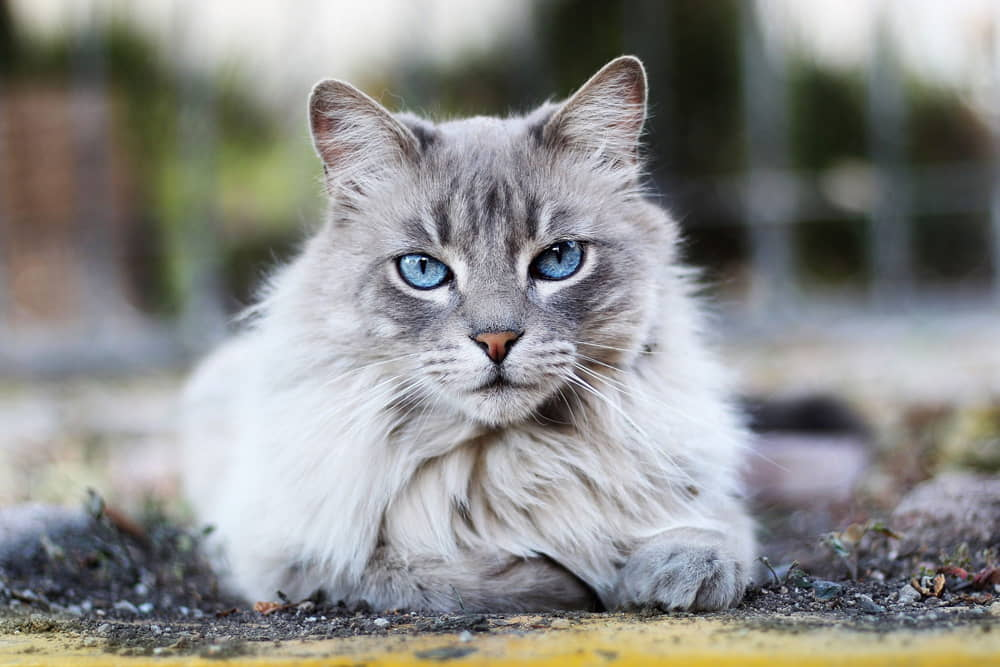 Cat Arthritis Symptoms, Pain Relief, Treatments, and Types