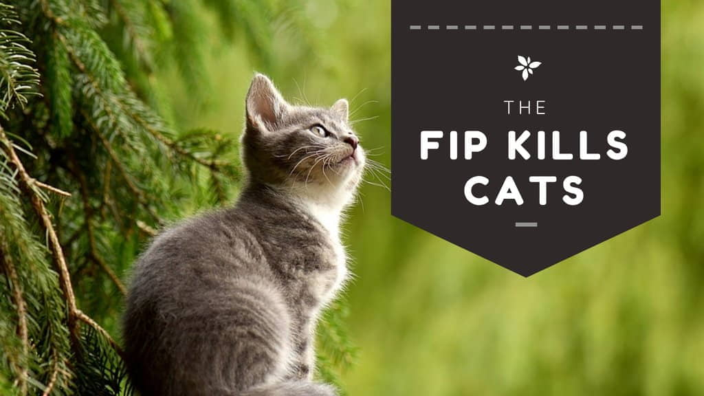 Cat FIP (Feline Infectious Peritonitis): Symptoms, Causes, and Treatments