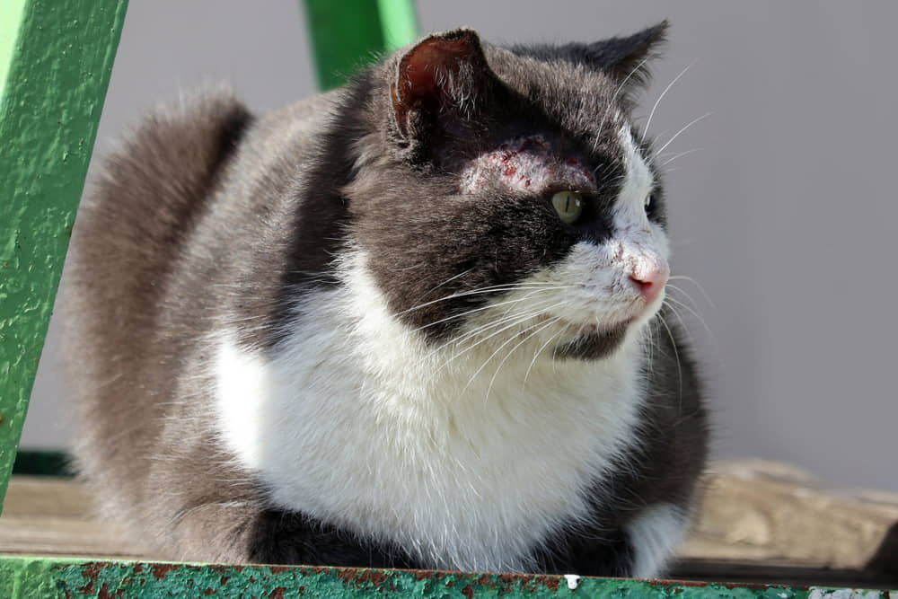 Cat Mange and Scabies: Symptoms, Causes, and Treatments