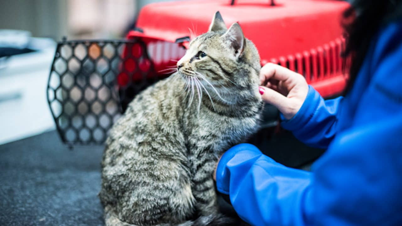 Cats and FIV: Symptoms, Causes, and Treatments