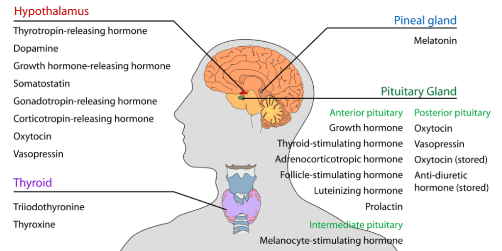 Hypothalamus - Function in Determination and Conduct