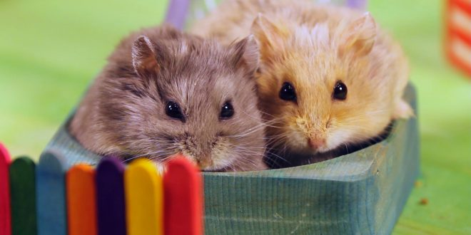 Hamsters Fuzzy Balls Of Fun