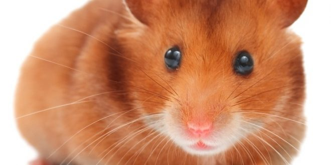 The Golden, or Syrian, Hamster