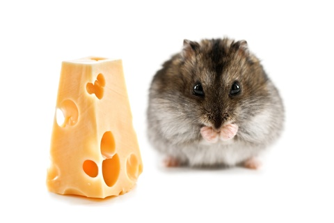 hamsters eat cheese