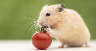Can Hamsters Eat Tomatoes?