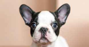 How to Clean Your Dog's Ears: A Pet Parents Guide