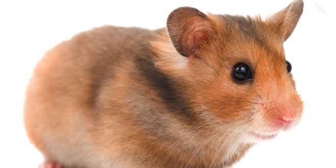 Hamster Care: Getting to know your hamster