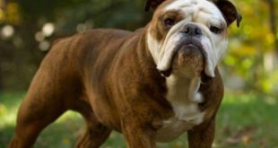 List of Large Dog Breeds - A Must Read