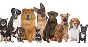 5 of the Best Dog Breeds For Seniors - Part 1