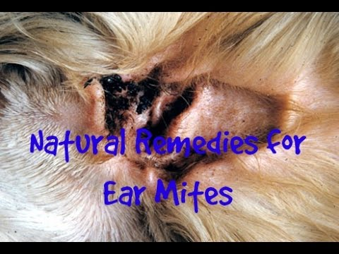 Ear Mites In Cats And Dogs Natural Solutions Pet Care Tips How