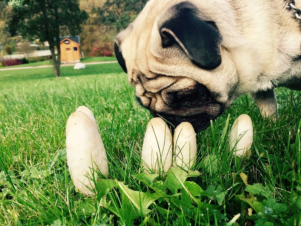 Pug sniffing mushrooms in a meadow