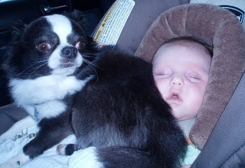 Chihuahua Babysitting Dogs Take Care And Playing With Babies Dog