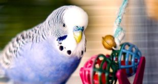 budgie with toys